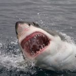 White sharks can withstand a lot - even the content of heavy metals in the blood
