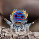 Местата на пауните на паяците на практика не отразяват светлината. Защо?
