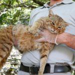 نوع جديد من القطط مع العضلات المتقدمة والحياة الليلية