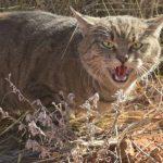 Котките в Австралия убиха един милиард животни за една година. Как стана това?