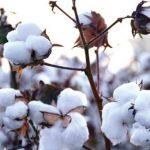 Bomuldaffald kan omdannes til biologisk nedbrydeligt plastik