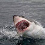 A tudósok rájöttek, hogy honnan jöttek az emberi evő cápák, megölve az embereket