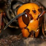 The biggest wasp in the world. Where lives and what is dangerous