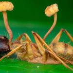 How do parasitic fungi turn ants into zombies?