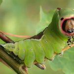 How can blind caterpillars distinguish colors?