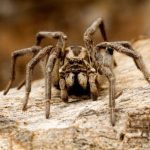 In Russia, a new species of the most terrible spider in the world