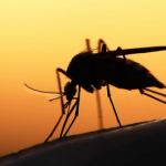 How did mosquitoes change the world?
