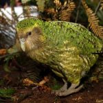 Вимираючий папуга Какапо і птах Ківі, що ви знаєте про них?