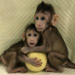 Chinese geneticists clone monkeys for the first time using the Dolly sheep method