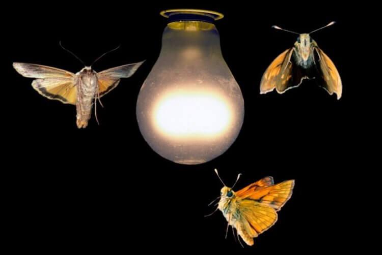 Warum Fliegen Motten Ins Licht