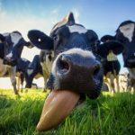 Quand les gens ont-ils commencé à boire du lait de vache?