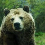 بدأت الدببة تهاجم الناس في كثير من الأحيان. ما هو السبب في ذلك؟
