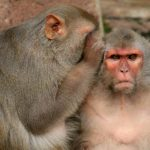Human Stem Cells Gave Monkeys Back