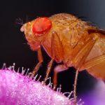 D'où viennent les moucherons des fruits dans la maison?