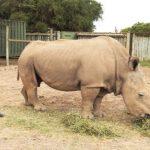 Den sidste mand af den nordlige hvide næsehorn døde i verden