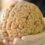 Мозкова тканина здатна функціонувати поза тілом майже місяць