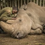 Can a white rhino clone save an entire species from extinction?