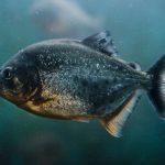 Piranha roofvissen veranderen hun tanden in hele blokken. Maar waarom?