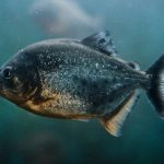 Piranha predatory fish change their teeth in whole blocks. But why?
